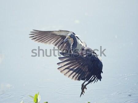 Groot Blauw reiger vlucht vogel veer Stockfoto © saddako2