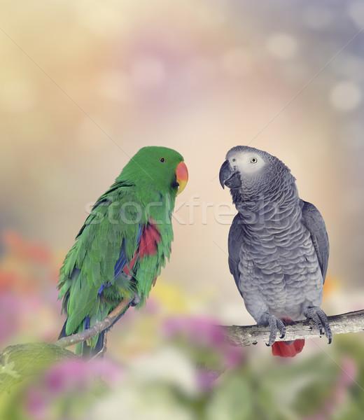 Two Parrots Stock photo © saddako2