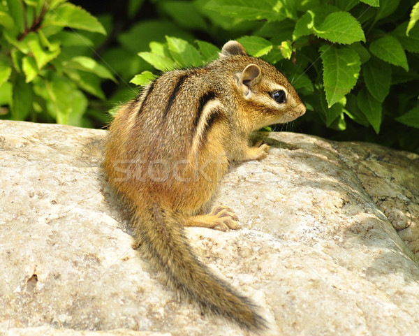 çizgili sincap taş doğa bilim komik sincap Stok fotoğraf © saddako2