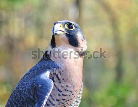 Falcon natura animale veloce ala Foto d'archivio © saddako2