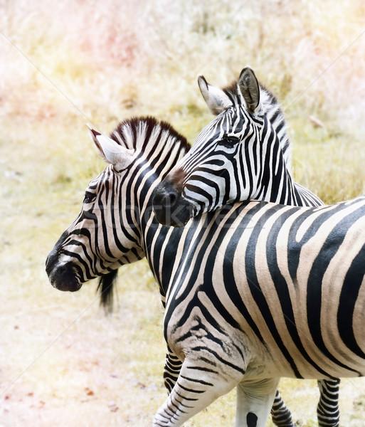 Zebras Stock photo © saddako2