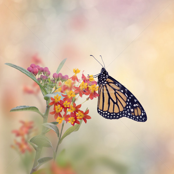 Monarch Butterfly on Tropical Milkweed plant. Stock photo © saddako2