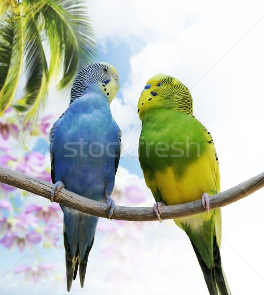 Budgerigar Parrots Stock photo © saddako2