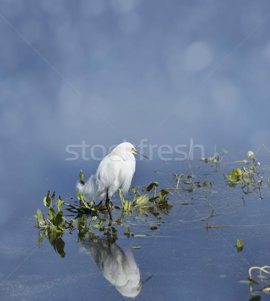 Snowy Egret Stock photo © saddako2