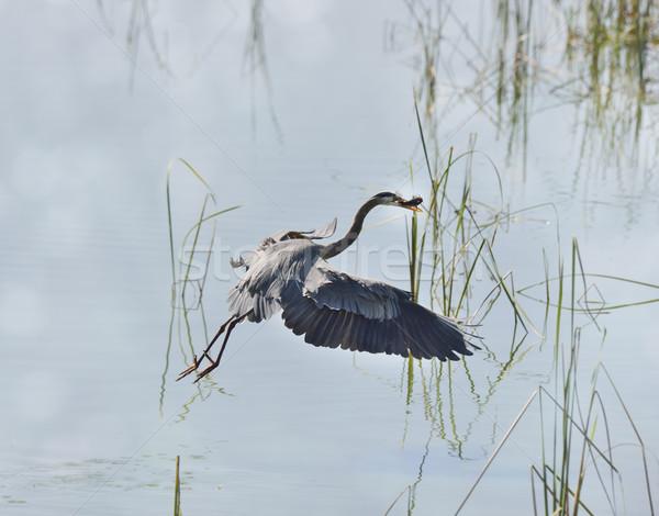 Great Blue Heron Stock photo © saddako2