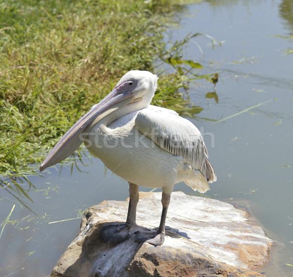 White Pelican Stock photo © saddako2