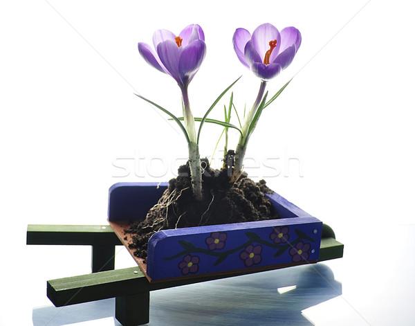 Crocus fiori primavera decorativo carriola fiore Foto d'archivio © saddako2