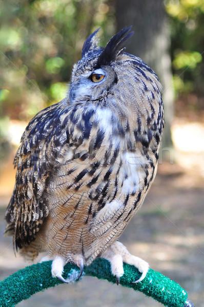 Great Horned Owl  Stock photo © saddako2