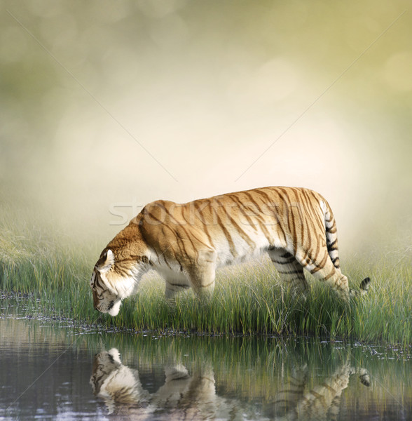 Stock photo: Tiger Near Pond