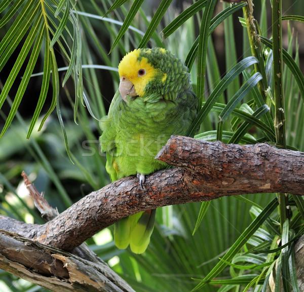 Foto stock: Verde · papagaio · colorido · amarelo · sessão · ramo