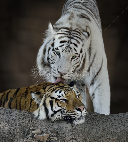 White And Brown Tigers Stock photo © saddako2