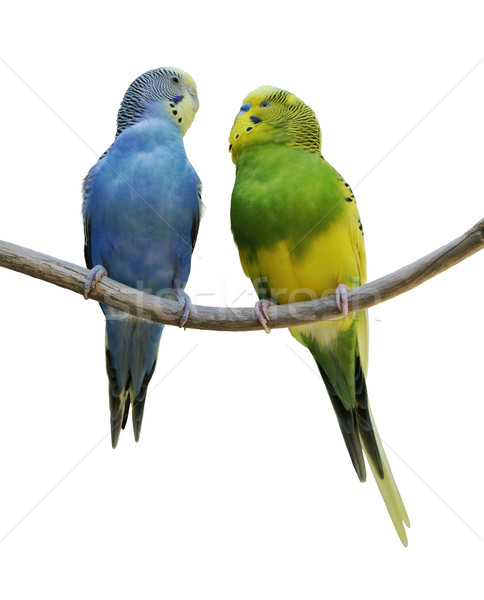 Budgerigar Parrots Stock photo © saddako2