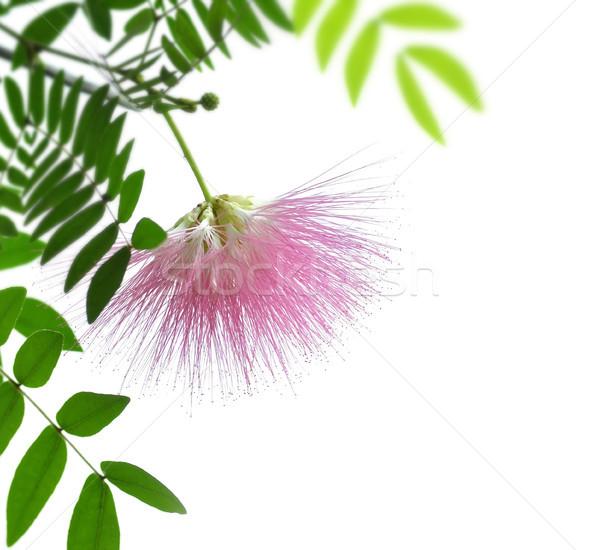 Blushing Sunburst Blossom  Stock photo © saddako2