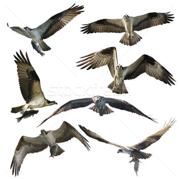 Osprey eagles on white background Stock photo © saddako2