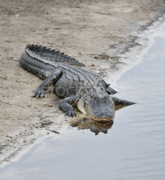 American Alligator  Stock photo © saddako2