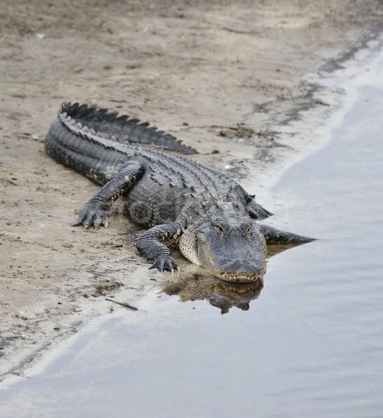американский аллигатор воды природы черный зубов Сток-фото © saddako2