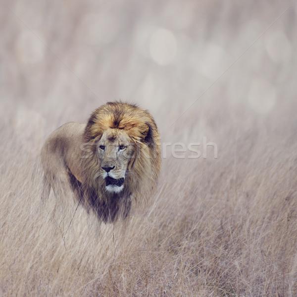 Lion Homme marche herbe Afrique animaux Photo stock © saddako2