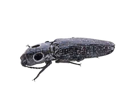 Eyed Click Beetle, Alaus oculatus Stock photo © saddako2