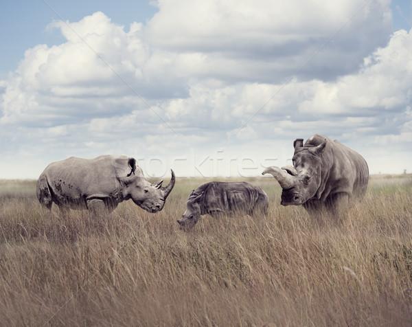 Biały nosorożec trawy dziedzinie niebieski młodych Zdjęcia stock © saddako2