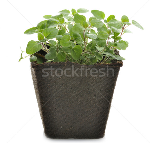 Oregano kruid papier pot voorjaar blad Stockfoto © saddako2