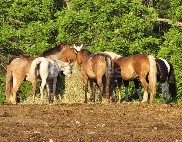 horses feeding on a farm Stock photo © saddako2