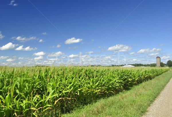 Mais campo cielo blu nubi estate verde Foto d'archivio © saddako2