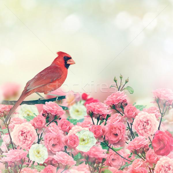 Red Cardinal In Rose Garden Stock photo © saddako2