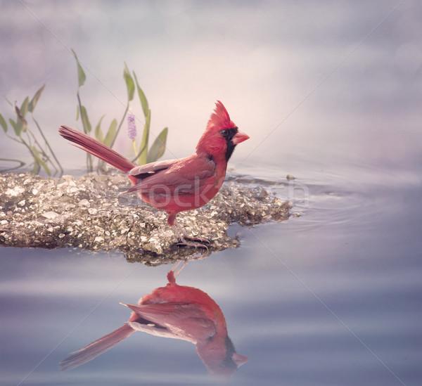Stock photo: Male Northern Cardinal