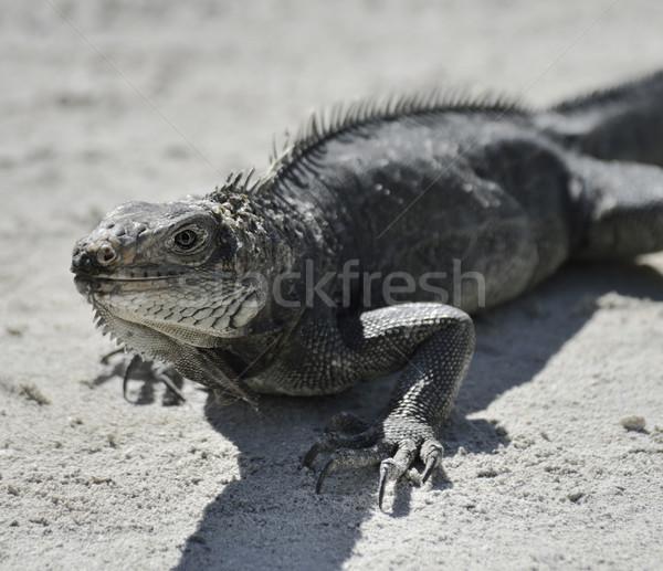 Leguaan omhoog shot portret tropische dier Stockfoto © saddako2