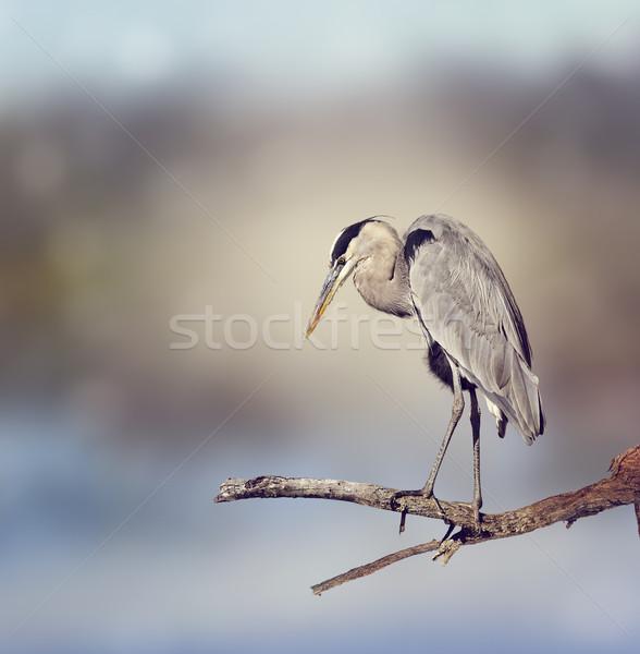 Blu airone natura uccello Foto d'archivio © saddako2