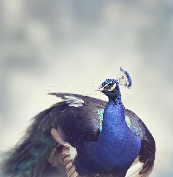 Belle paon Homme indian bleu Photo stock © saddako2