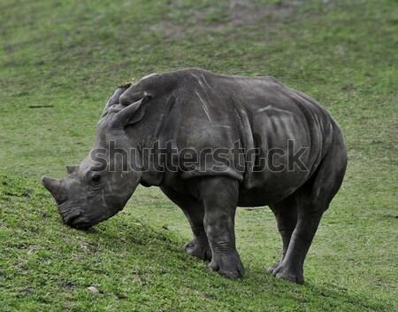 Baby White Rhino Stock photo © saddako2