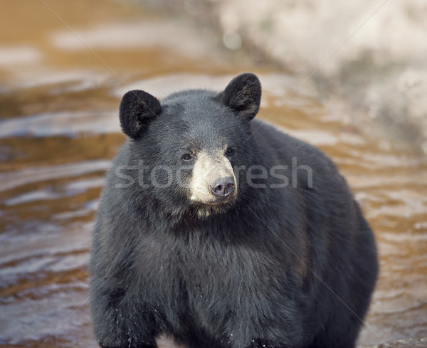 Black Bear in water Stock photo © saddako2