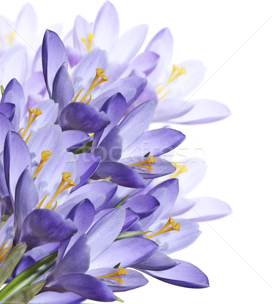 Spring Crocus Flowers Stock photo © saddako2