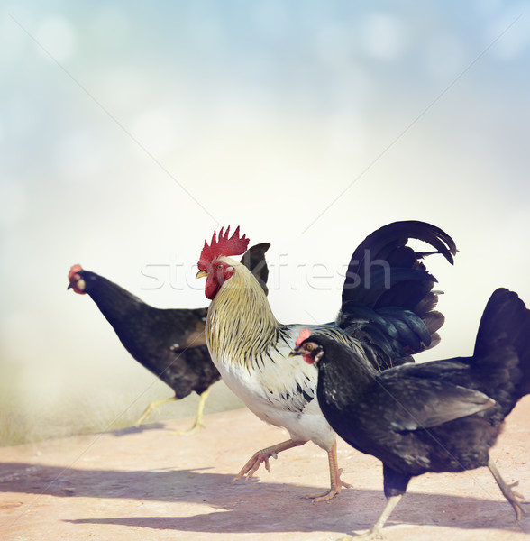 Rooster and Chickens. Stock photo © saddako2