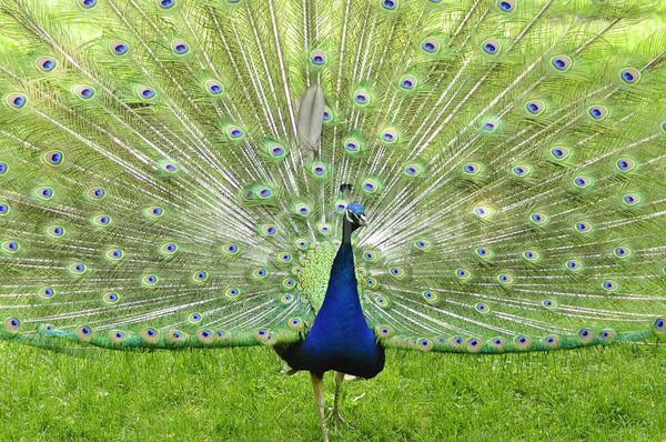 Pauw park natuur schoonheid dansen Stockfoto © saddako2
