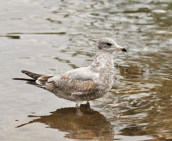 seagull  Stock photo © saddako2