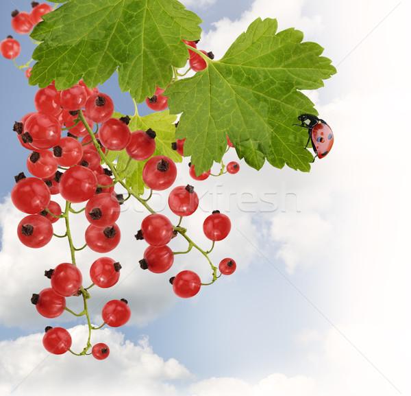 Kırmızı frenk üzümü yaprakları gökyüzü yaprak meyve Stok fotoğraf © saddako2