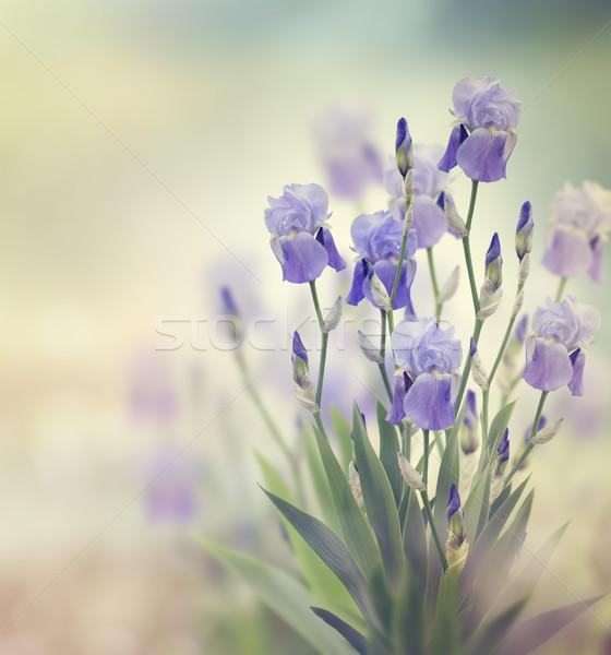 Iris flores púrpura jardín flor Foto stock © saddako2