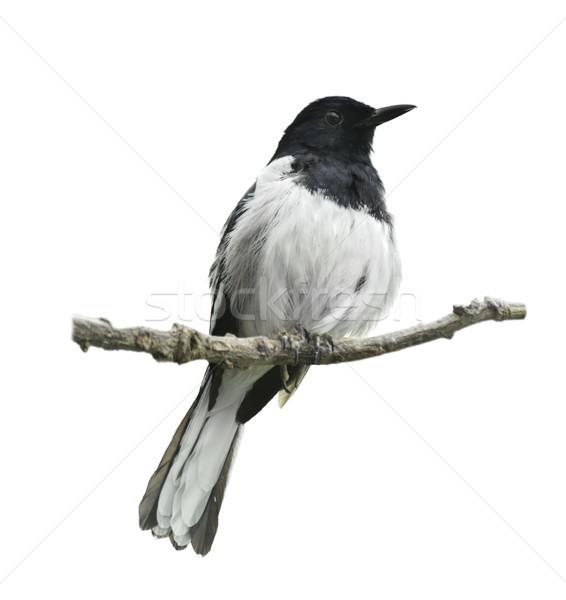 Oriental Magpie Robin Stock photo © saddako2