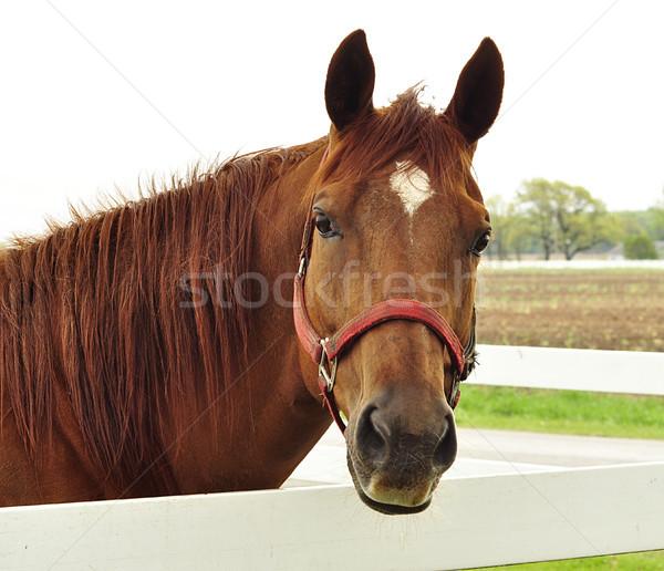 horse Stock photo © saddako2