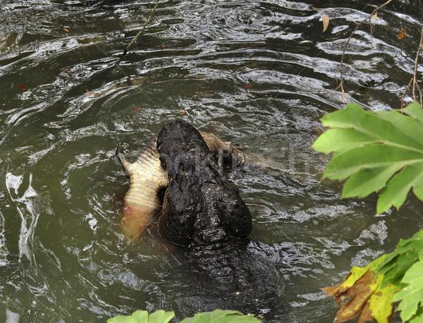 аллигатор охота большой небольшой один смерти Сток-фото © saddako2