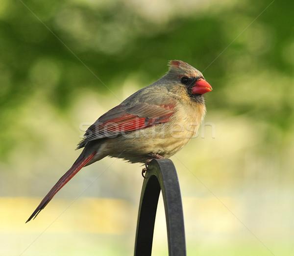 cardinal female  Stock photo © saddako2