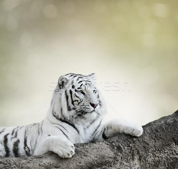 Beyaz kaplan kaya kedi dinlenmek Stok fotoğraf © saddako2