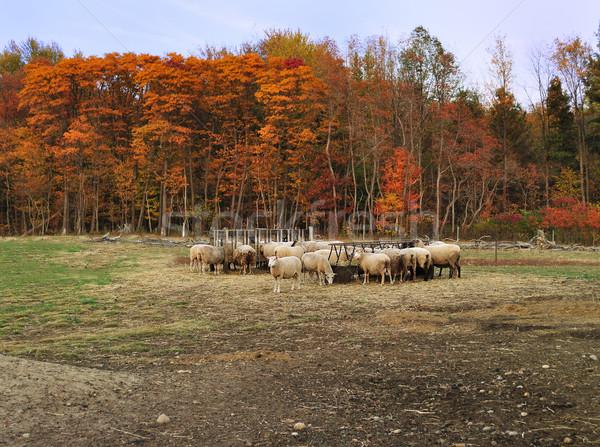 Stock photo: autumn in a sheep farm