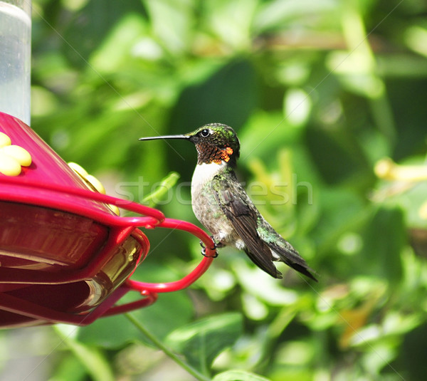 hummingbird Stock photo © saddako2