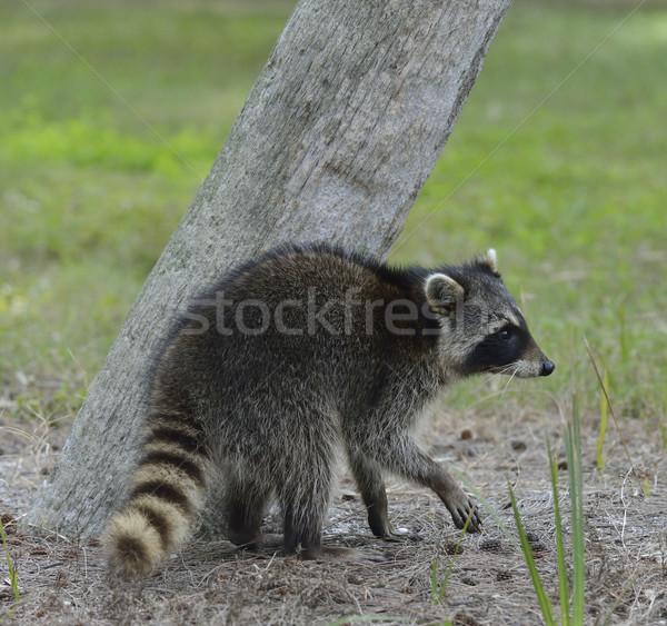 Jonge wasbeer lopen boom masker dier Stockfoto © saddako2