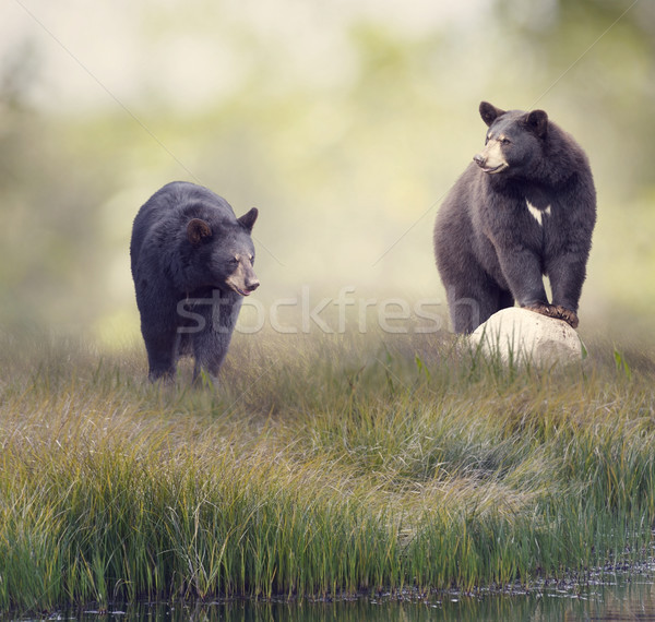 Two Black bears near water Stock photo © saddako2