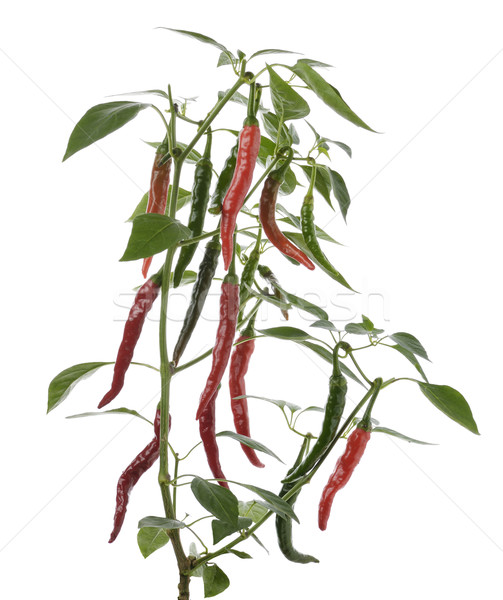 Hot Pepper Stock photo © saddako2