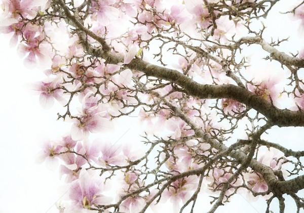 Magnolia kwiaty różowy streszczenie kwiat tle Zdjęcia stock © saddako2
